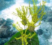 Ομαδοποίηση Ornatus Caryocrinites Στοκ Φωτογραφίες