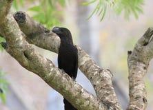 Ομαλός-τιμολογημένο Ani, ani Crotophaga που σκαρφαλώνει σε ένα δέντρο Στοκ Εικόνες