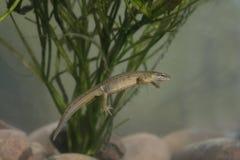 Ομαλό newt, Triturus vulgaris στοκ φωτογραφίες με δικαίωμα ελεύθερης χρήσης