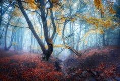 Ομιχλώδες δασικό μυστικό δάσος φθινοπώρου φθινοπώρου στην μπλε ομίχλη Στοκ Εικόνες