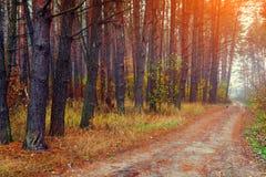 Ομιχλώδες δάσος πεύκων Στοκ Φωτογραφία