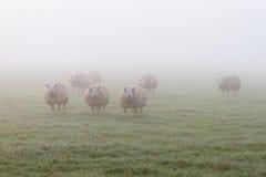 Ομιχλώδη πρόβατα Στοκ φωτογραφία με δικαίωμα ελεύθερης χρήσης