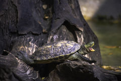 Ομιλία χελωνών Στοκ Φωτογραφία