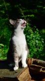 Ομιλούσα γάτα Στοκ φωτογραφίες με δικαίωμα ελεύθερης χρήσης