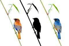 ΟΜΟΡΦΗ φωτογραφία πουλιών Fineart (καστανοκοκκινωπός-διογκωμένο Niltava) που σκαρφαλώνει στο BA Στοκ Εικόνες