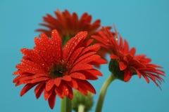 Ομορφιά ενός λουλουδιού Στοκ Εικόνες