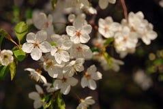 ομορφιά λεπτή ανθίζοντας δέντρο κερασιών Στοκ εικόνα με δικαίωμα ελεύθερης χρήσης