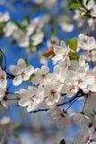 ομορφιά λεπτή ανθίζοντας δέντρο κερασιών Στοκ Φωτογραφίες