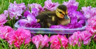 Ομορφιά λουσίματος νεοσσών πρασινολαιμών Στοκ φωτογραφία με δικαίωμα ελεύθερης χρήσης