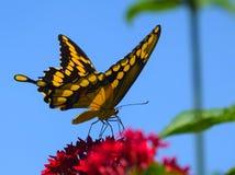Ομορφιά πεταλούδων Στοκ Φωτογραφία