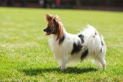 Ομορφιά σκυλιών Papillon Στοκ εικόνα με δικαίωμα ελεύθερης χρήσης