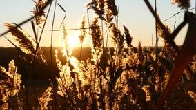 Ομορφιά της φύσης δασικό ηλιοβασίλεμα της Ρουμανίας φθινοπώρου Κλείστε επάνω της κίτρινης χλόης στο όμορφο ηλιοβασίλεμα Εγκαταστά απόθεμα βίντεο
