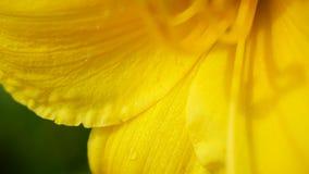 Ομορφιά του κίτρινου λουλουδιού Στοκ εικόνα με δικαίωμα ελεύθερης χρήσης
