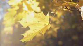 Ομορφιά φθινοπώρου, ζωηρόχρωμη κινηματογράφηση σε πρώτο πλάνο φύλλων απόθεμα βίντεο