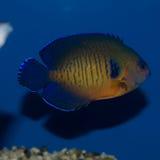 Ομορφιά Angelfish κοραλλιών Στοκ εικόνα με δικαίωμα ελεύθερης χρήσης