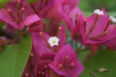 Ομορφιά Bougainvillea Στοκ Φωτογραφία