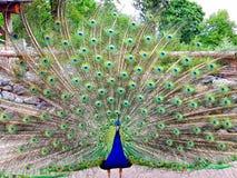Ομορφιά Peacock Στοκ φωτογραφία με δικαίωμα ελεύθερης χρήσης