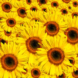 ομορφιές κίτρινες Στοκ εικόνα με δικαίωμα ελεύθερης χρήσης