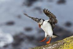 Ομορφιές της Ισλανδίας, κόκκινος-ραμφοειδές πουλί Στοκ φωτογραφία με δικαίωμα ελεύθερης χρήσης