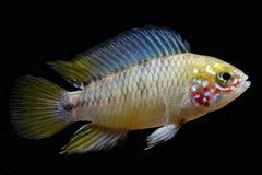 Ομπρέλα cichlid, ψάρια ενυδρείων borellii Apistogramma Στοκ Εικόνα