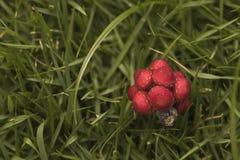 Ομπρέλα tree& x27 πεσμένοι το s σπόροι Το κόκκινο οργάνωσε καλά το κόκκινο λίγο frui Στοκ Φωτογραφίες