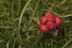 Ομπρέλα tree& x27 πεσμένοι το s σπόροι Το κόκκινο οργάνωσε καλά το κόκκινο λίγο frui Στοκ εικόνες με δικαίωμα ελεύθερης χρήσης