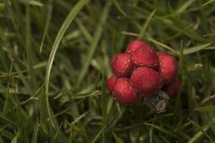 Ομπρέλα tree& x27 πεσμένοι το s σπόροι Το κόκκινο οργάνωσε καλά το κόκκινο λίγο frui Στοκ φωτογραφίες με δικαίωμα ελεύθερης χρήσης