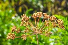 Ομπρέλες του ευώδους μαράθου άνηθου σπόρων με την πτώση δροσιάς Στοκ εικόνα με δικαίωμα ελεύθερης χρήσης