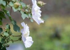 Ομόσπονδος αυξήθηκε hibiscus λουλουδιών mutabilis Στοκ φωτογραφίες με δικαίωμα ελεύθερης χρήσης