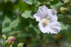 Ομόσπονδος αυξήθηκε hibiscus λουλουδιών mutabilis Στοκ εικόνες με δικαίωμα ελεύθερης χρήσης