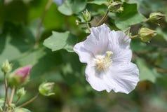 Ομόσπονδος αυξήθηκε hibiscus λουλουδιών mutabilis Στοκ Εικόνες