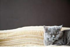 Ονειρεμένος βρετανική γάτα Στοκ Φωτογραφίες