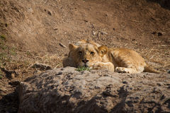 Ονειρεμένος λιοντάρι Στοκ Φωτογραφία