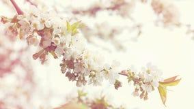 Ονειροπόλα άνθη κερασιών ως φυσικά σύνορα Εποχή ή Hanami Sakura Αφηρημένη μαλακή εστίαση, διάστημα αντιγράφων, υπόβαθρο σύστασης Στοκ φωτογραφία με δικαίωμα ελεύθερης χρήσης