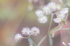 Ονειροπόλος & μαλακή μουτζουρωμένη εστίαση λίγου άσπρου λουλουδιού σίδηρος-ζιζανίων στον κήπο στοκ εικόνες με δικαίωμα ελεύθερης χρήσης