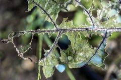 Οξείδωση του χαλκού σε ένα φύλλο μελιτζάνας Στοκ Εικόνες
