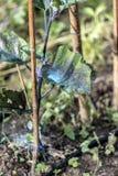 Οξείδωση του χαλκού σε μια μελιτζάνα στοκ φωτογραφία με δικαίωμα ελεύθερης χρήσης
