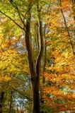 Οξιά φθινοπώρου Στοκ εικόνες με δικαίωμα ελεύθερης χρήσης
