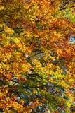 οξιές λευκών και άλλα δέντρα με τα φανταστικά ζωηρόχρωμα φύλλα Στοκ Εικόνα