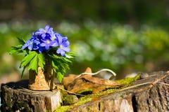 οξιών άνοιξη της Πολωνίας nobilis hepatica που λαμβάνεται δασική μπλε δάσος λουλουδιών Στοκ εικόνα με δικαίωμα ελεύθερης χρήσης
