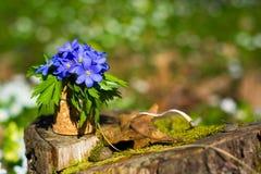 οξιών άνοιξη της Πολωνίας nobilis hepatica που λαμβάνεται δασική μπλε δάσος λουλουδιών Στοκ Εικόνες