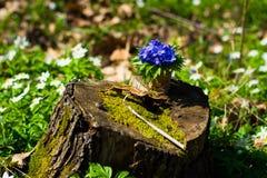 οξιών άνοιξη της Πολωνίας nobilis hepatica που λαμβάνεται δασική μπλε δάσος λουλουδιών Στοκ Φωτογραφία