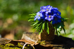 οξιών άνοιξη της Πολωνίας nobilis hepatica που λαμβάνεται δασική μπλε δάσος λουλουδιών Στοκ φωτογραφίες με δικαίωμα ελεύθερης χρήσης