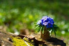 οξιών άνοιξη της Πολωνίας nobilis hepatica που λαμβάνεται δασική μπλε δάσος λουλουδιών Στοκ Φωτογραφίες