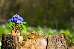 οξιών άνοιξη της Πολωνίας nobilis hepatica που λαμβάνεται δασική μπλε δάσος λουλουδιών Στοκ Εικόνα