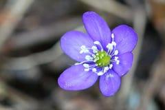 οξιών άνοιξη της Πολωνίας nobilis hepatica που λαμβάνεται δασική στοκ εικόνες με δικαίωμα ελεύθερης χρήσης