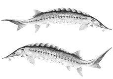 οξύρρυγχος ψαριών Στοκ Εικόνες