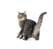 οπίσθια πόδια γατακιών τι&gamma Στοκ Εικόνες