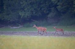 Οπίσθιος και fawn περπατώντας στο δάσος στοκ φωτογραφία με δικαίωμα ελεύθερης χρήσης