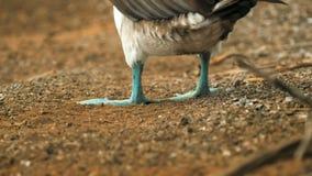 Οπίσθιος χαμηλός πυροβολισμός γωνίας ενός μπλε-πληρωμένου γκαφατζή που ανυψώνει τα πόδια του galapagos στοκ φωτογραφία